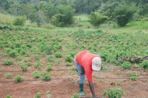 A farmer using new water-management techniques in Jamaica. Photo courtesy of The Competitiveness Company at Guy's Hill in Jamaica.
