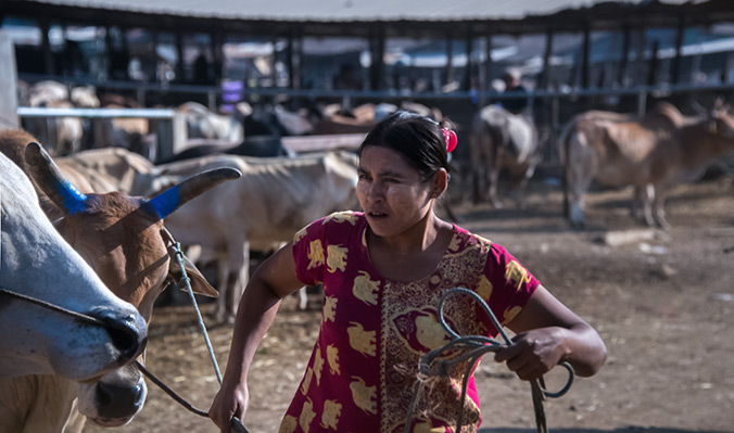 A Burmese woman tends cattle during an open market in Mae Sot, Tak province, western Thailand. Prize bulls destined for underground fighting change hands for very high sums, while the women who handle them earn 200 baht (6 dollars) per day. The workers face risks including being kicked or gored, as well as reported outbreaks of anthrax in 2017. Bulls are imported from Myanmar. Photo: UN Women/Piyavit Thongsa-Ard