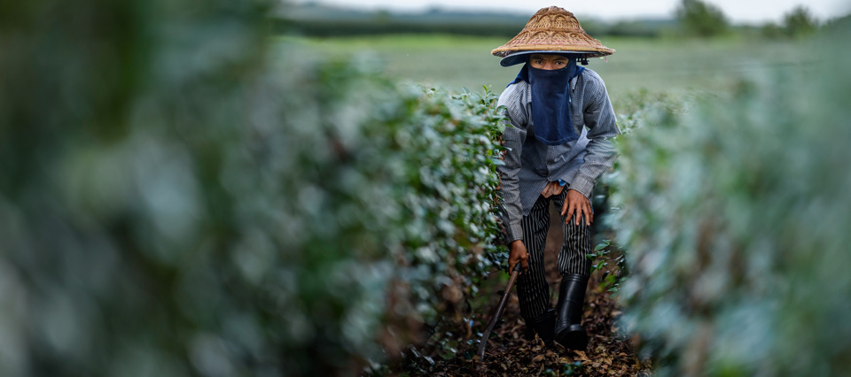 A worker tends a tea plantation in Chiang Rai, northern Thailand. Most migrant workers are from Viet Nam and Thailand's indigenous groups. Photo: UN Women/Pornvit Visitoran