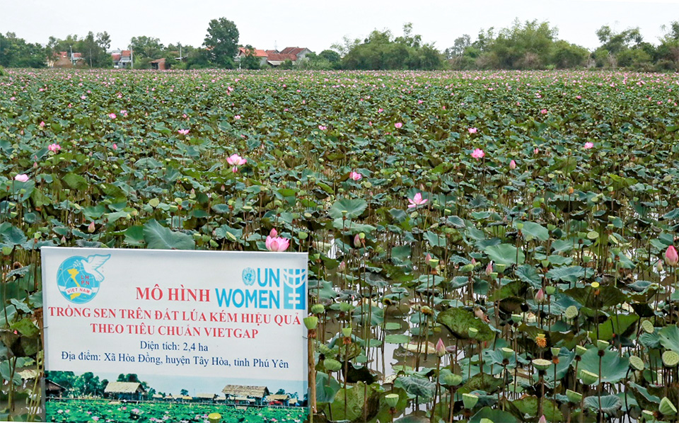 In September, the lotus fields supported by UN Women became the first lotus model in Phu Yen province to receive the VietGAP certificate. Photo: UN Women/Thao Hoang