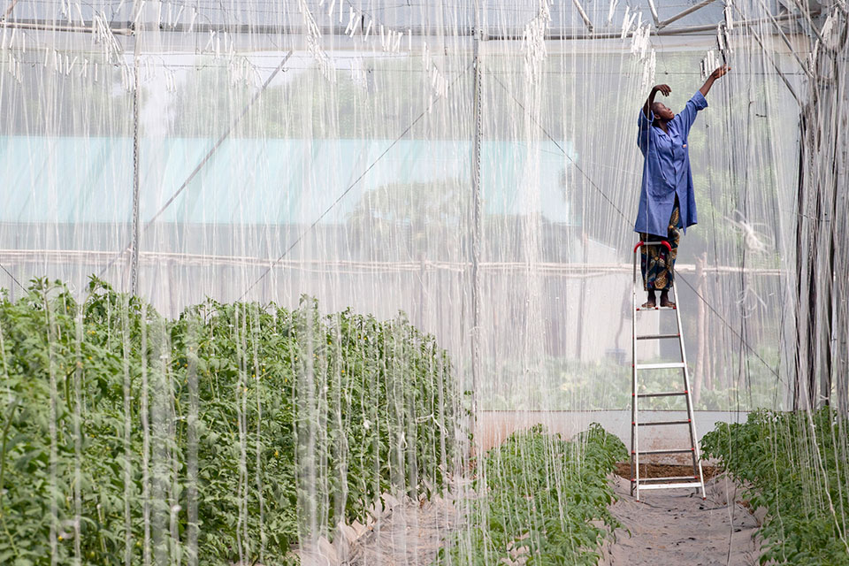 Aminata Traore works in the greenhouse of Sidibe Argo-Techniques in Katibougou Village, outside Bamako, Mali on November 3, 2013. Sidibe Argo-Techniques is growing watermelons, sweet peppers, tomatoes and other vegetables.   Photo: World Bank/Dominic Chavez