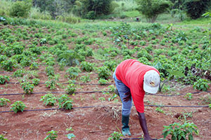 Protecting their crops through green technologies, Caribbean women fend for themselves