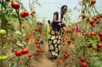 A women turns to her tomato plants at the Imali cooperative in Rwanda